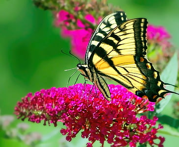 tiger swallowtail butterfly on pink petaled flower