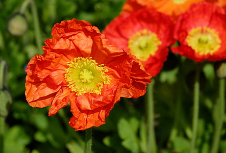 closeup photography of red poppy flowers