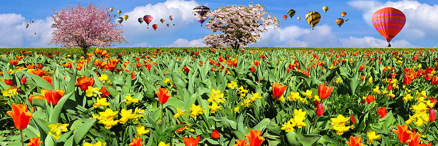 red tulip flower and yellow daffodil flower field
