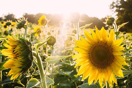 Sunflower Field under sun rays