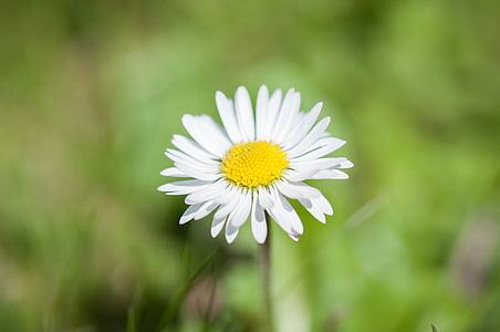 ox-eyed daisy flower