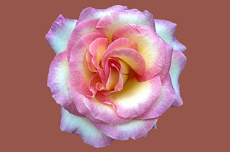 pink and yellow rose photo