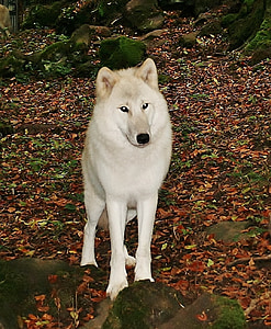 white wolf, kasselburg, germany, dog, animal, canine