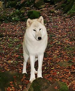 white wolf, kasselburg, germany, dog, animal, canine