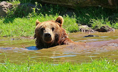 brown grizzly bear in water
