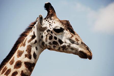 brown and white giraffe