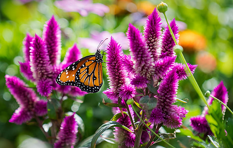 Danaus plexippus butterfly perching on purple flower