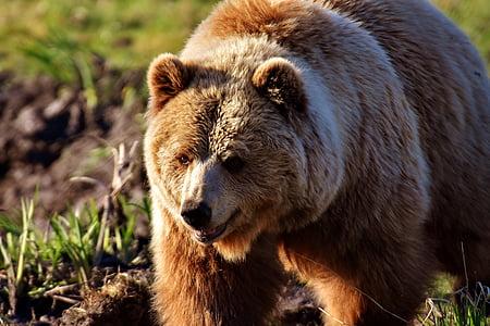 brown bear on ground