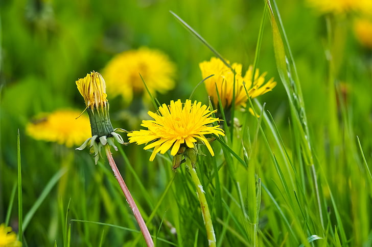 close up photography of yellow dandelion