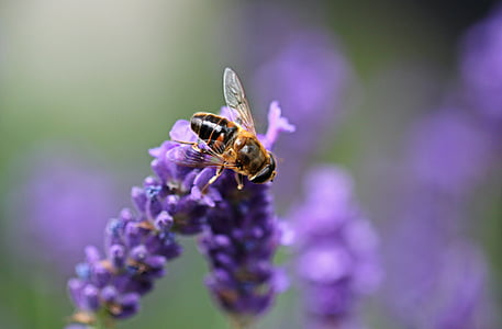 macro shot of brown bee on purple lavender