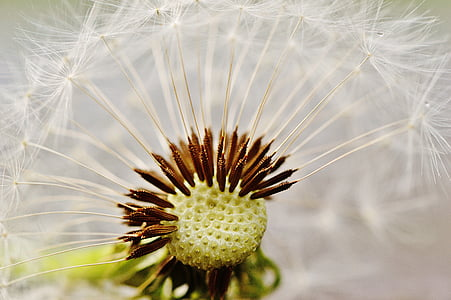 closeup photo of dandelion flower
