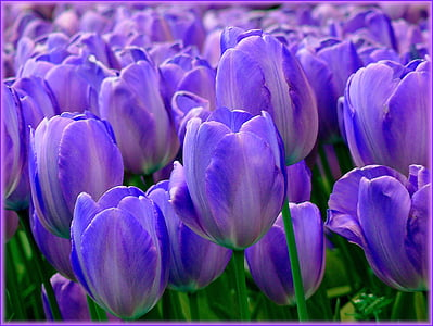 close-up photo of purple tulip flowers