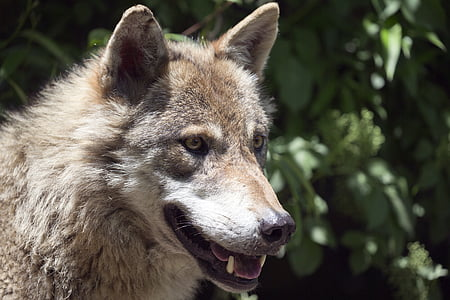 close-up photo of brown and white wolf