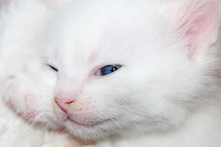 photo of white Persian kitten