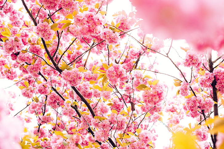 pink and yellow petaled tree in focus photography