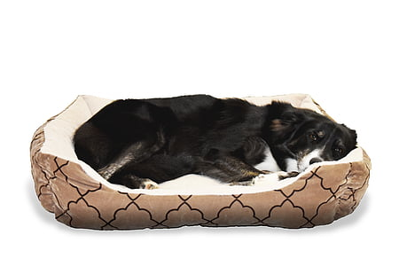 black and white border collie lying on pet bed