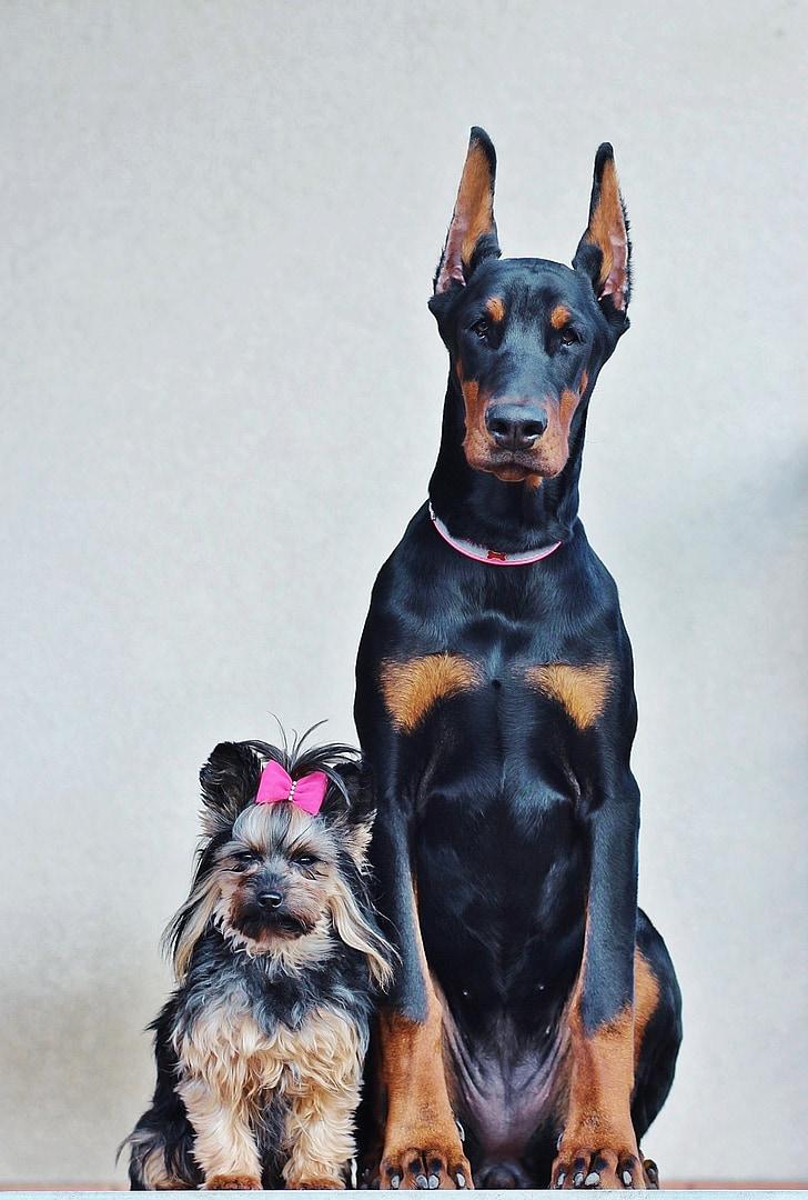yorkshire terrier, doberman, dogs, portrait, friendship, poesing