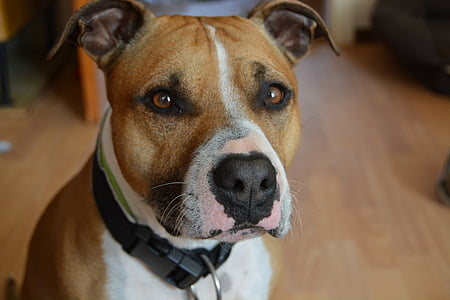 adult brown and white American pit bull terrier