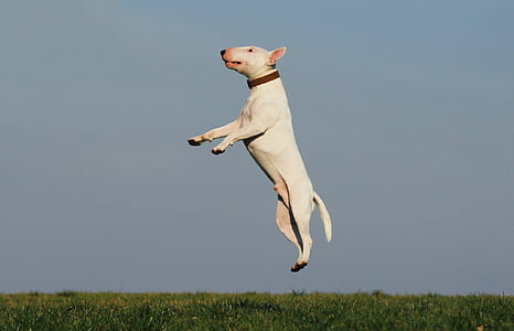 white Bull Terrier jumped