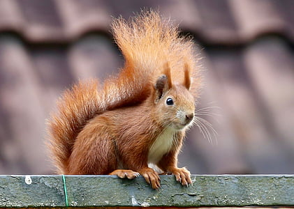 selective focus photo of red squirrel