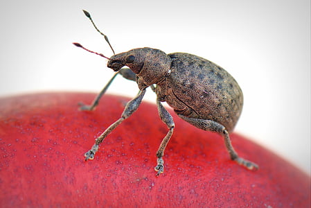 brown and black weevil on red surface