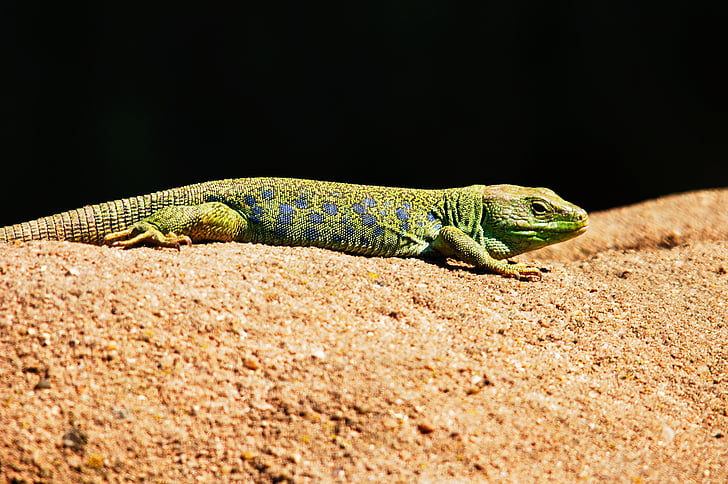 green lizard on brown sand