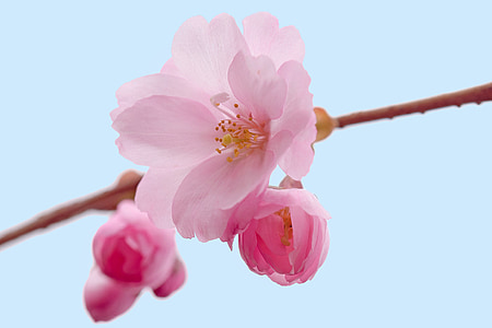 pink cherry blossoms closeup photography