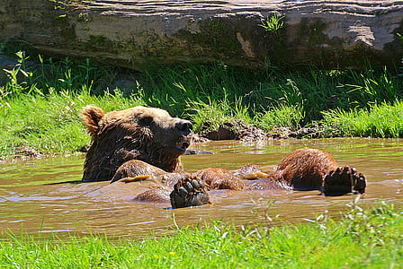 two brown bears on body of water during daytime