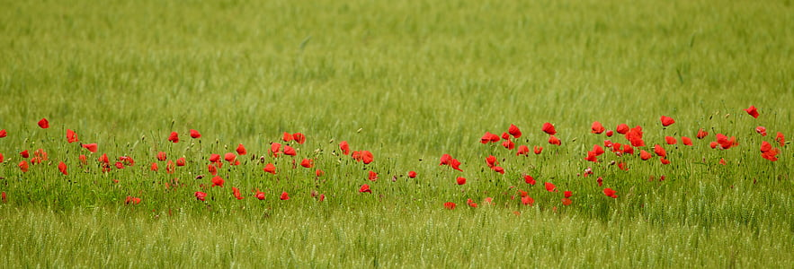 red flowers on grass field