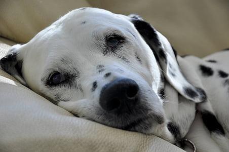 white and black dalmatian on sofa