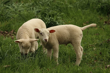 two lambs on green grass