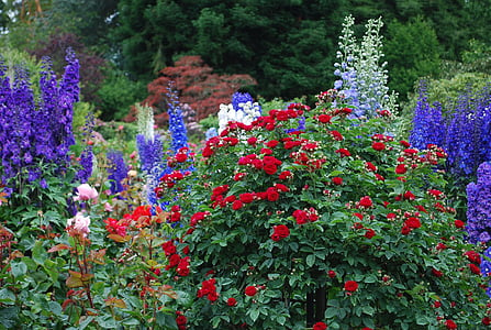 red and purple flowers in bloom