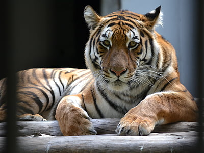closeup of brown, white, and black tiger