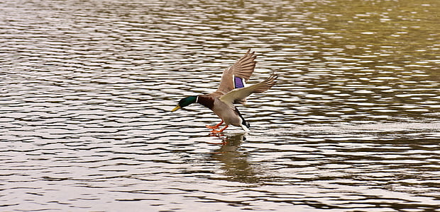 panning photograph of mallard duck flying above the water