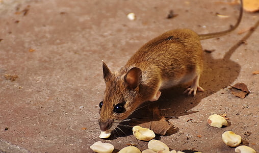 brown rat eating bunch of nuts