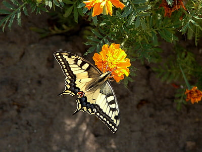 Eastern tiger swallowtail butterfly perched on flower