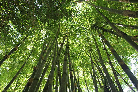 worm's eye view photography of bamboo trees during daytime