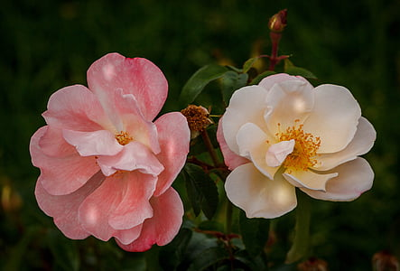 two white and pink multi-petaled flowers in closeup photography