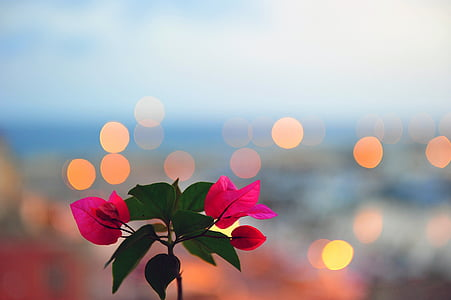 pink bougainvilleas macro photography