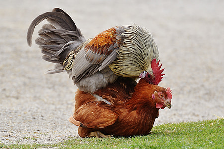 red rooster and brown hen