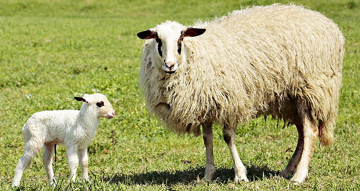 white and beige lambs and kid on top of grass field