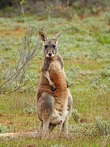 brown kangaroo standing on green grass field