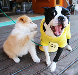 Boston terrier beside Australian shepherd puppy