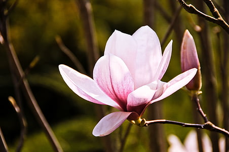 closeup photography of pink magnolia flower