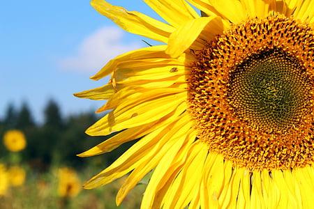 deep yellow sunflower