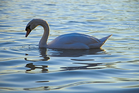 white swan in body of water during day time