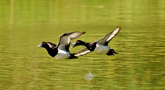 two white-and-black birds flying over body of water during daytime