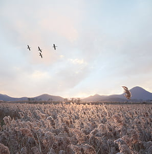 four flying birds over brown hay field