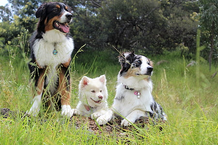 Bernese mountain dog, Australian shepherd, and white Siberian husky puppy prone and stand on grass field at daytime