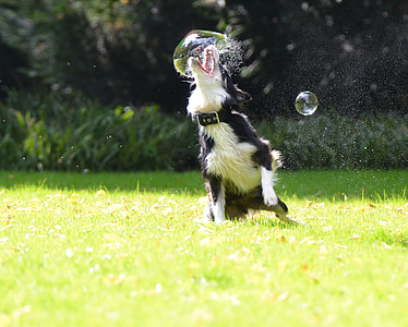 border collie playing bubbles in grass field at daytime